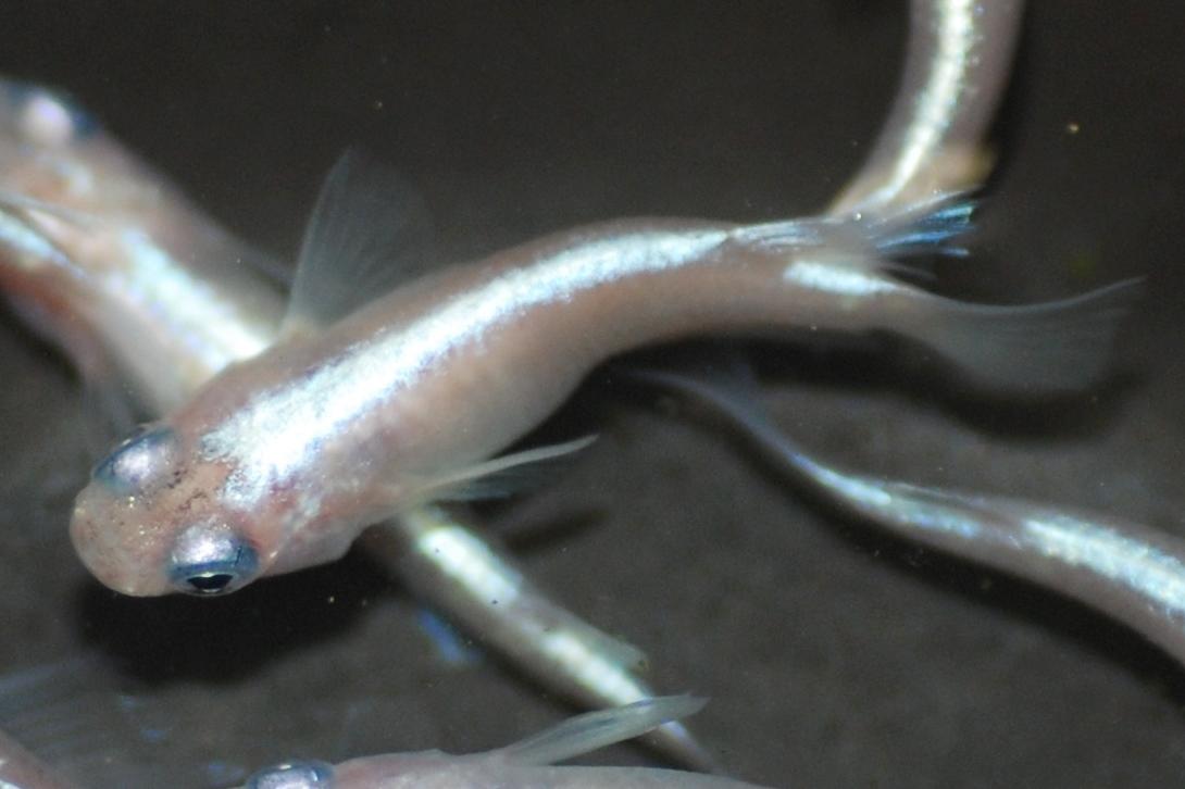▲白幹之 ラメ幹之の作出に関わるもう一つの品種。ラメと幹之的光の組み合わせにより、現在のような多くのラメを発現するメダカが産まれるようになった。