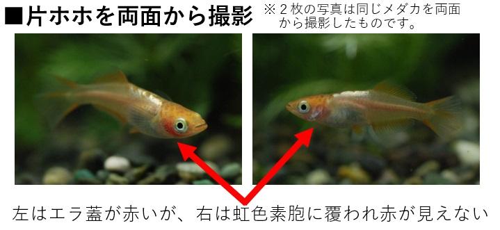 片ホホ透明鱗の説明図