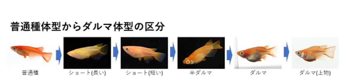普通種体型からダルマ体型までの区分